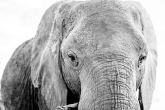 Elefanten eignen sich gerna auch mal für Schwarzweissaufnahmen