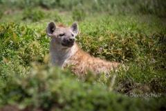 Auf Augenhöhe mit der Hyäne