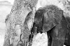 Elefantenbilder eignen sich gut für Schwarzweissaufnahmen