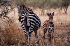 Kritischer Blick. Zebra mit NAchwuch