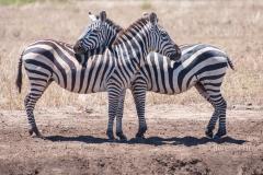Keine Zuneigung sonder absichern nach allen Seiten. Die typische Zebra-Position