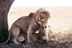 """Man muss auch mal Glück haben: Löwenpaar oder der """"Höhepunkt"""" eines Game Drives"""