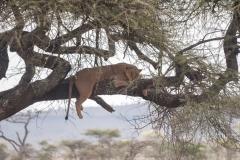 Ein seltenes Bild: Löwe im Baum