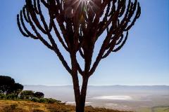 Kandelaberkaktus vor dem Ngorongoro Krater