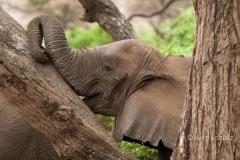 Müder Elefant im Lake Manj ara