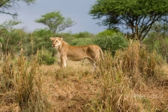 KiliSerengeti2012_88