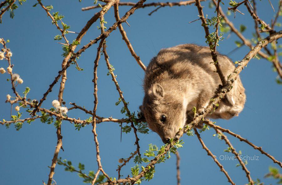 Klein aber laut: Der Baumschliefer (Tree Hyrax)
